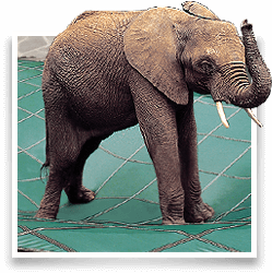 Bubbles the elephant can stand on a Loop-Loc safety cover