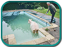 cow-in-pool - this mesh safety cover is trashed!