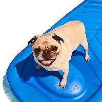 pug-in-pool