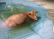 cow-in-pool-2