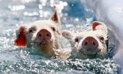 robinsons-racing-pigs-or-paddling-porkers