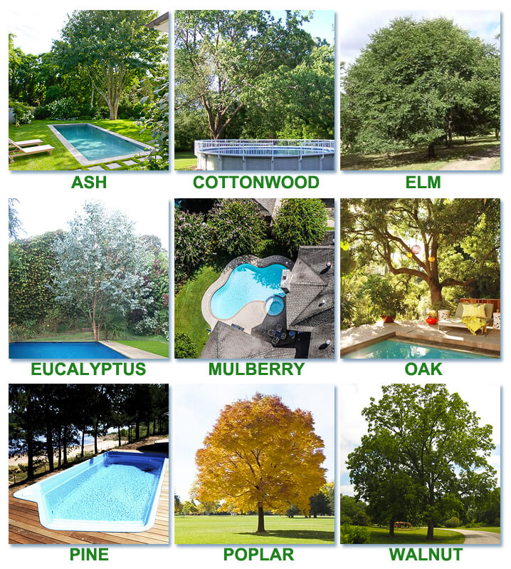 Best Amp Worst Trees To Plant Around A Pool Intheswim Pool