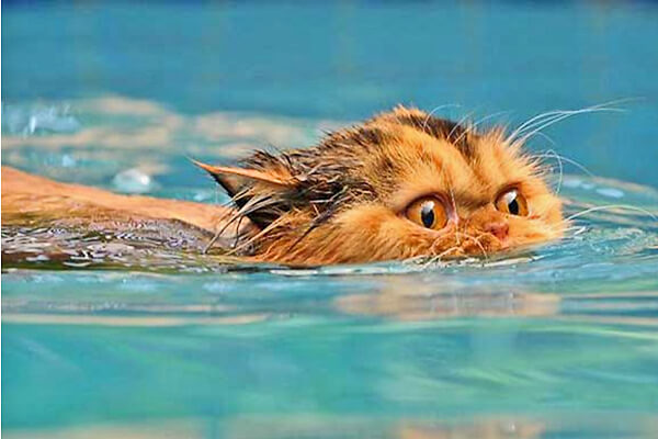 Cat In Swimming Pool : Cats in the pool meow yeow intheswim