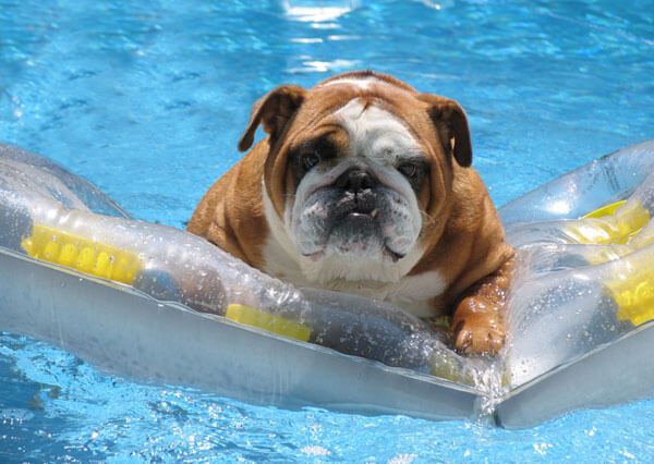 bulldog-on-pool-raft-istk
